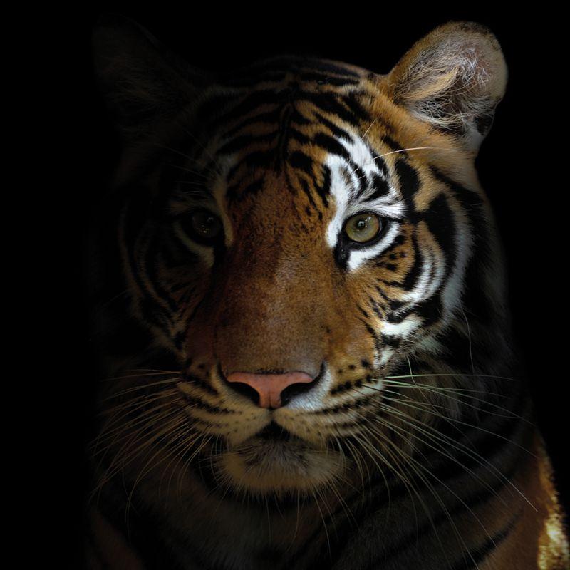 Alu Art Tiger mat